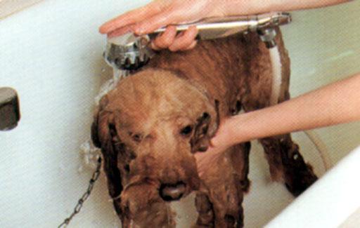 Rottweiler c articoli il bagno - Come fare il bagno al cane ...